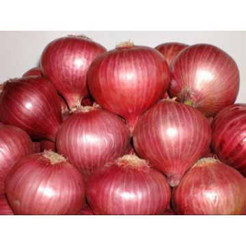 Indian Onion Special - 10kg - KHOLA